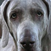 Willa the Weimaraner